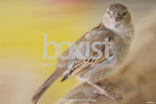 Passer Bird