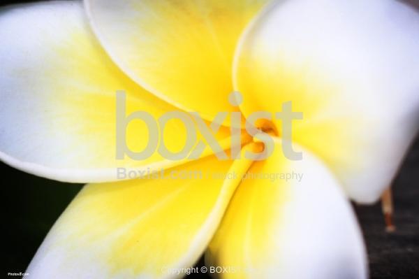 White Plumeria Rubra Flower