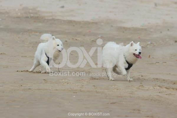 White Samoyed Dogs Beach Play