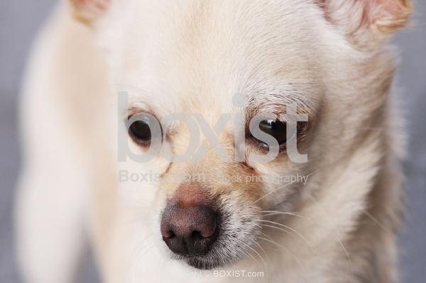 Chihuahua little Dog