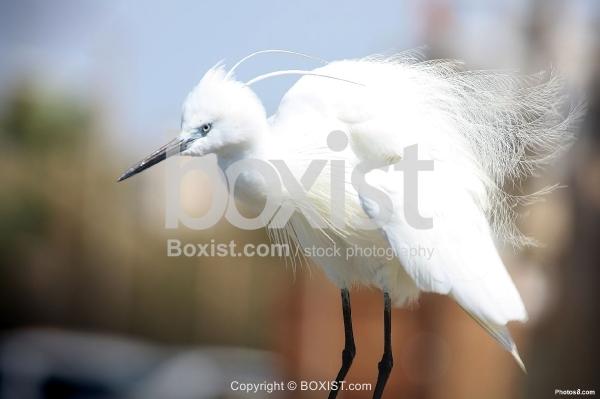 White Stork Shaking Feather