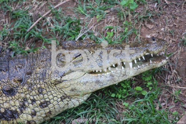 Crocodile with Sharp Teeth