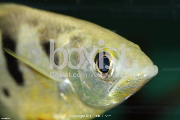 Face of Yellow Archerfish