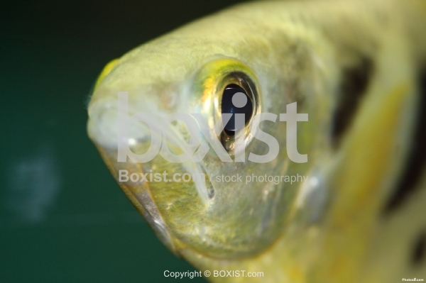 Gold Archerfish Toxotidae in the Water