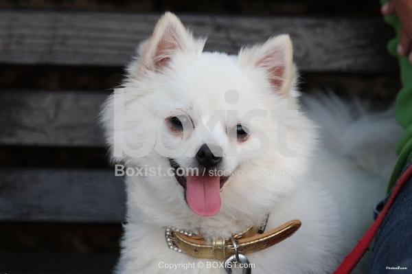 The German Spitz Dog