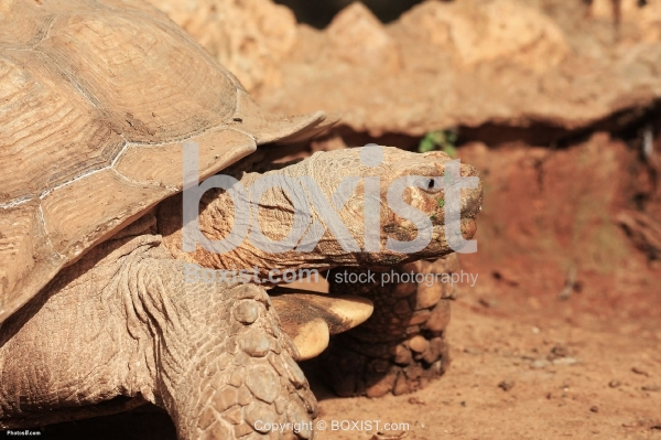 The Giant Turtle Head