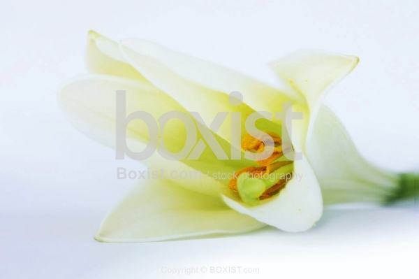 The White Flower