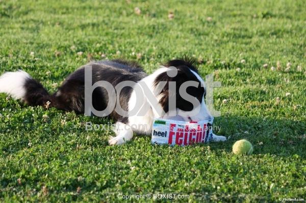 Border Collie Dog Sitting on Grass