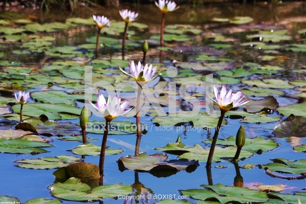 Lilies in Water Pool
