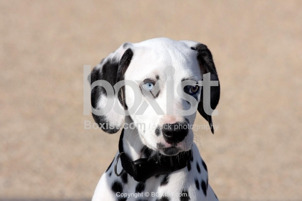 Blue Eyed Dalmatian Dog