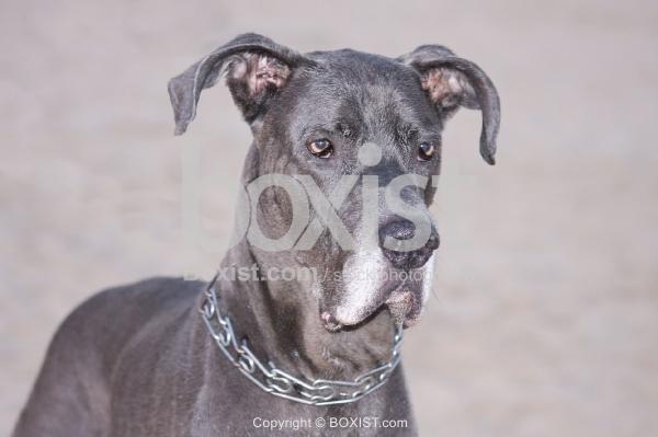 Blue Great Dane Dog