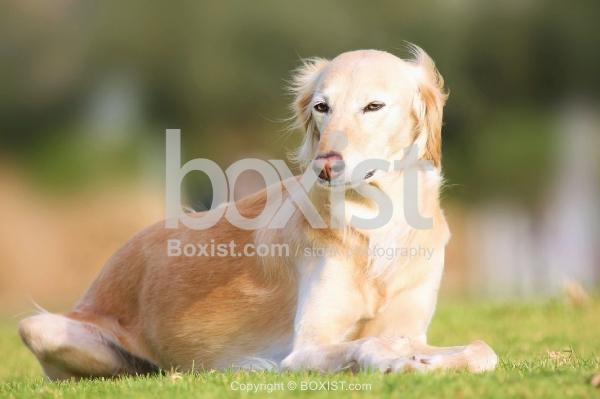 Light Brown Saluki Dog