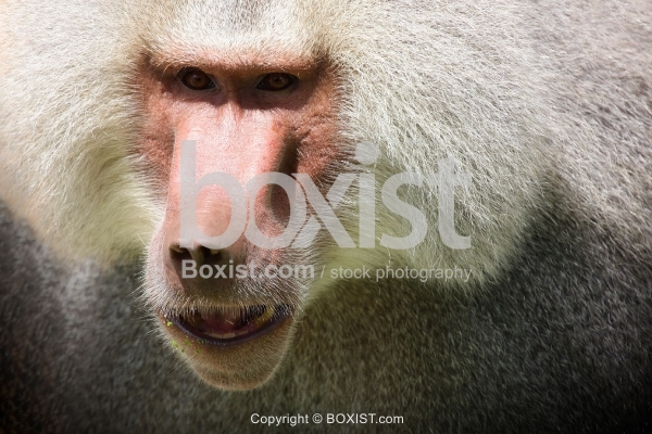 Baboon Monkey Face