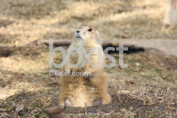 Black Tailed Prairie Dog Sitting