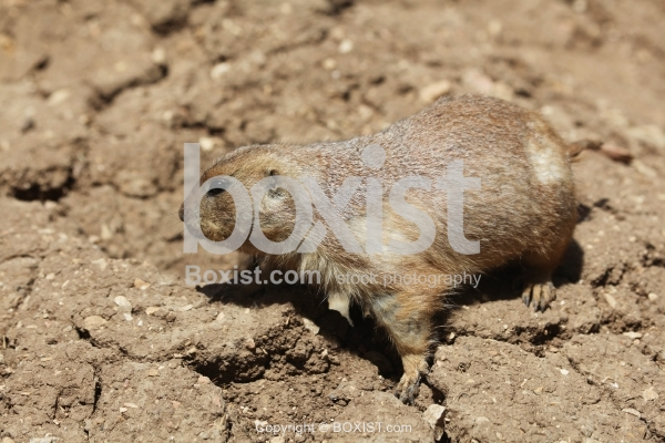 Black Tailed Prairie Dog  on Ground