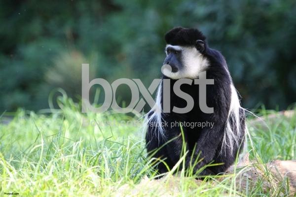 Colobus Monkey Sitting