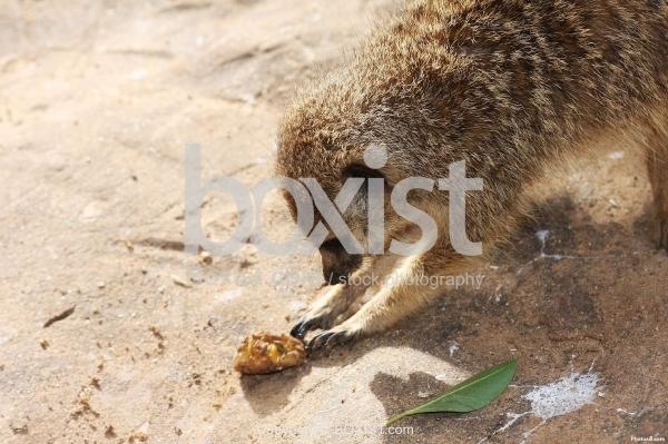 Meerkat Play