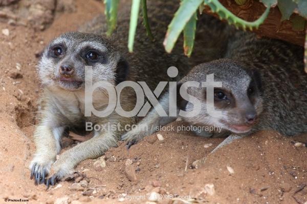 Meerkats Lying Down