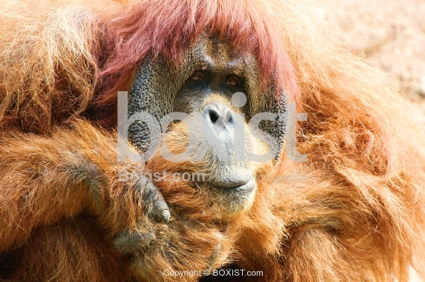 Orangutan Ape Face