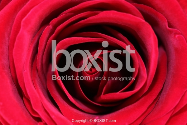 Macro Petals of Red Rose