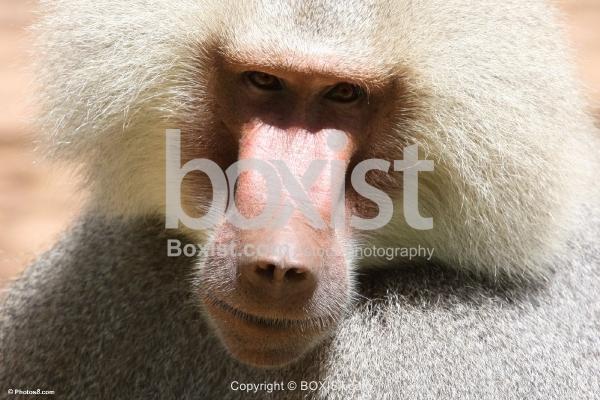 Male Hamadryas Baboon Monkey
