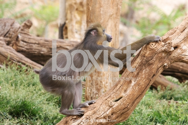 Mandrill Baboon Monkey Climbing Tree