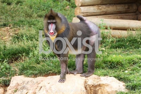 Mandrill Baboon Standing on Rock