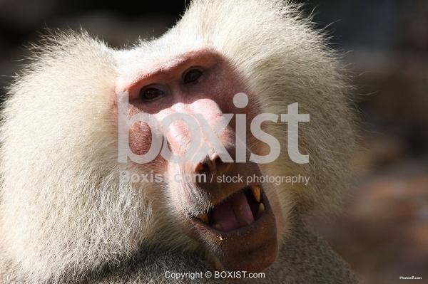 Hamadryas Monkey