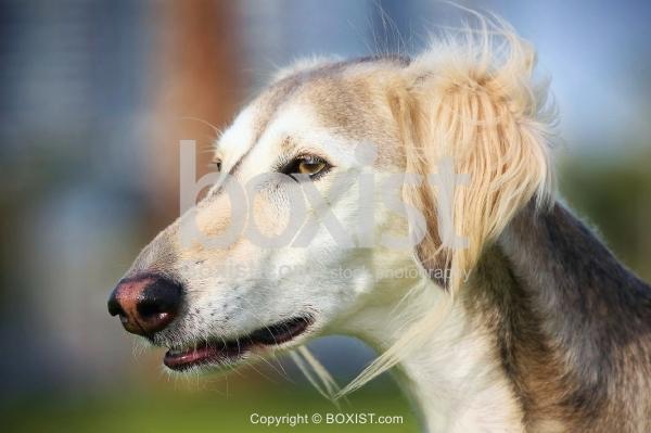 Saluki Dog Face