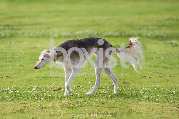 Saluki Dog Walking