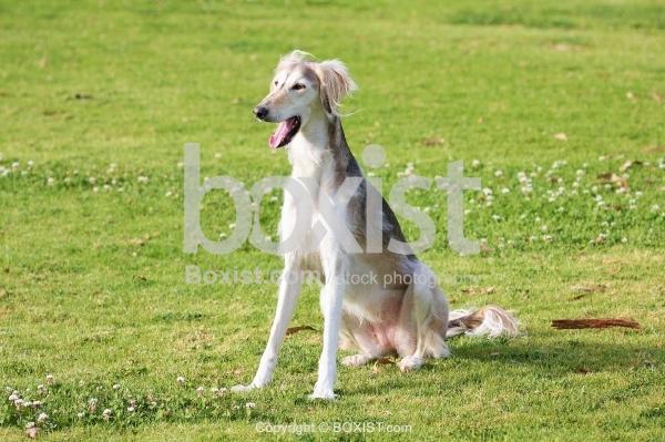 Saluki Dog Yawning