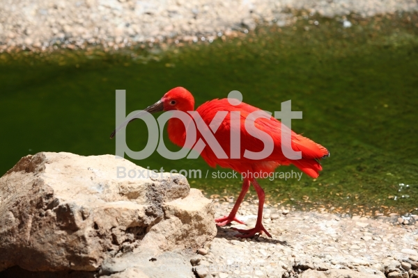 Red Scarlet Ibis Bird Walking