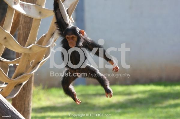Chimpanzee Baby Playing