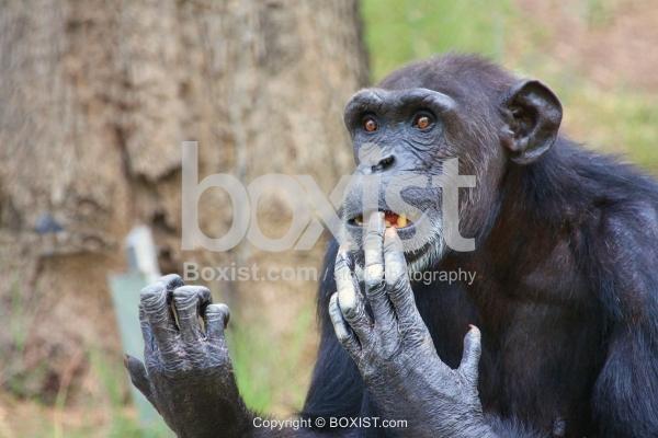 Chimpanzee Biting Nails