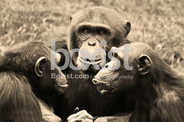 Chimpanzee Conspiracy