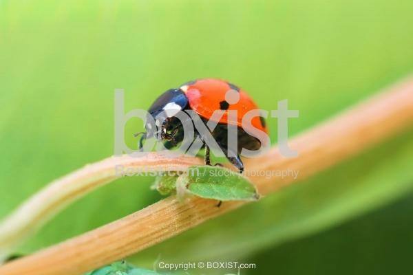 Little Ladybug Walking