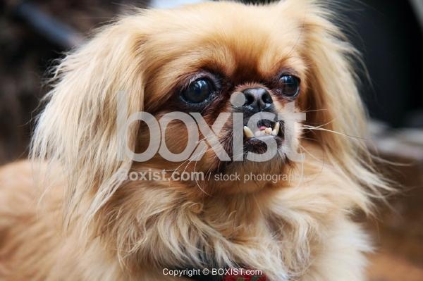 Pekingese Dog Face