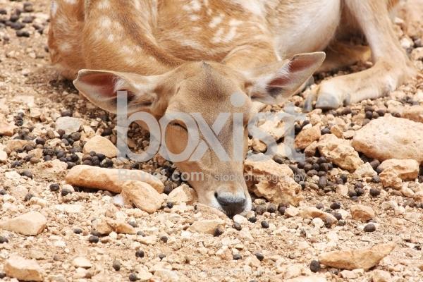 Deer Sleeping Peacefully