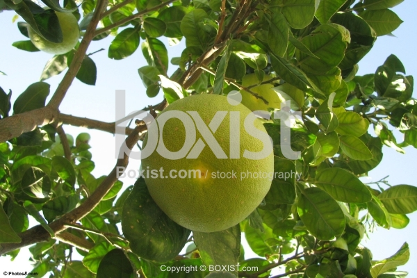 Grapefruit Hanging on Tree