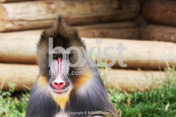 Mandrill Baboon Portrait
