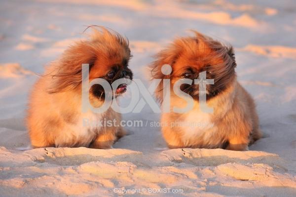 Two Pekingese Dogs on Sand