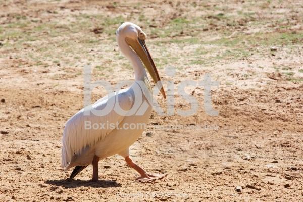 Pelican Bird Walking