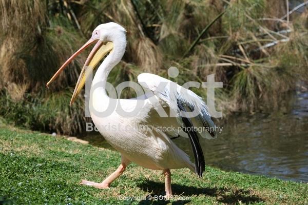 Pelican Walking on Green Grass