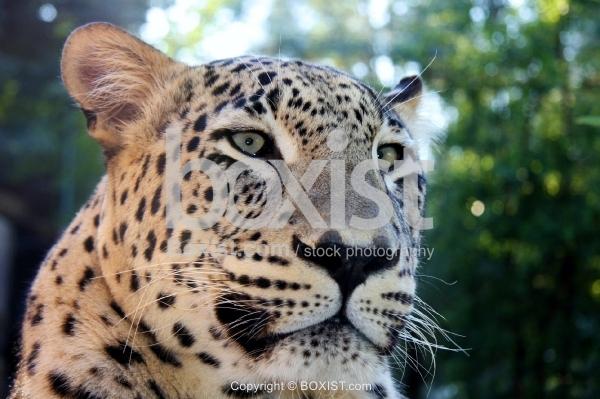 Closeup Portrait of Persian Leopard