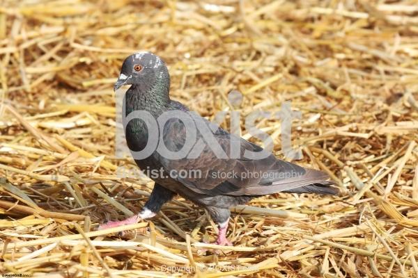 Pigeon Walking on Dry Straws