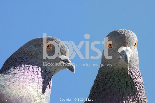 Pigeons Heads