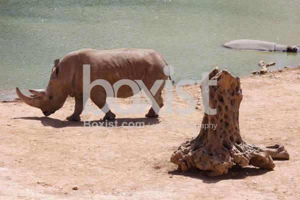 Rhinoceros Walking By Small Lake
