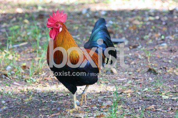 Rooster Walking