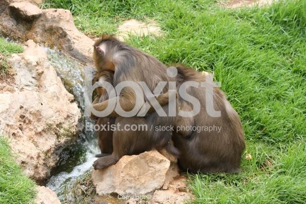 Mandrill Monkeys Family Hug