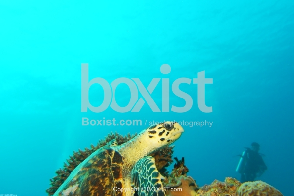 Sea Turtle Swimming Towards The Surface